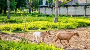 Chèvres GILI TRAWANGAN INDONESIE