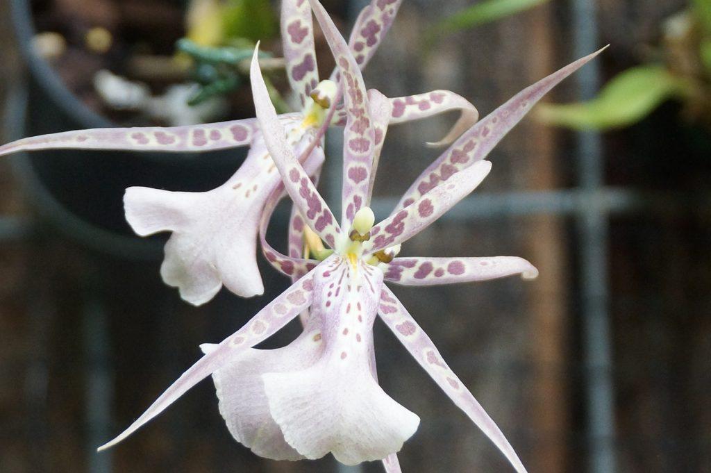 VIENTIANE ORCHIDEES LAOS